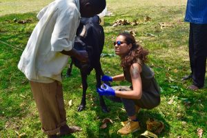 sara-making-blood-smears-from-an-infected-cow